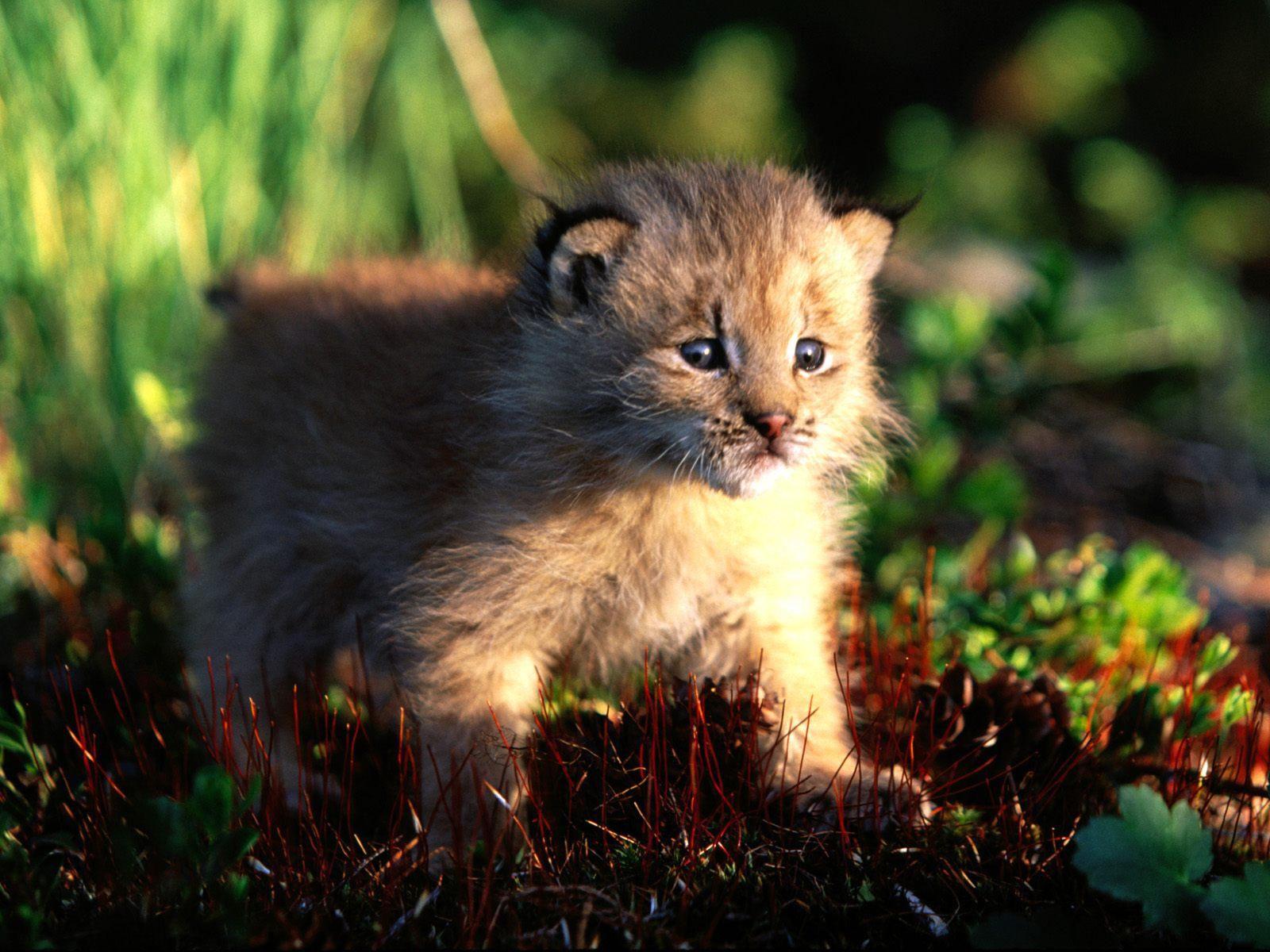 canada-lynx-kitten